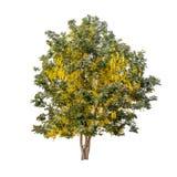 Isolerat regnträd med den gula blomman på vit bakgrund royaltyfri bild