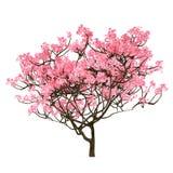 Isolerat Sakura träd Royaltyfria Foton