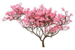 Isolerat Sakura träd