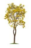 Isolerat silvertrumpetträd eller guling Tabebuia på vit bakgrund royaltyfri foto