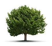 Isolerat stort grönt träd fotografering för bildbyråer