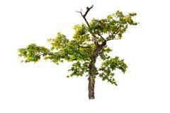 Isolerat stort träd på vit bakgrund arkivfoton