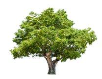 Isolerat stort träd på vit bakgrund fotografering för bildbyråer