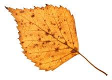 isolerat stupat holey gult blad av björkträdet Royaltyfri Fotografi