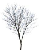 Isolerat träd Royaltyfri Foto
