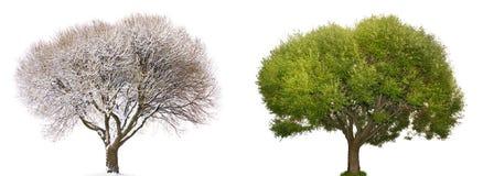 Isolerat träd i vinter och sommar royaltyfria bilder