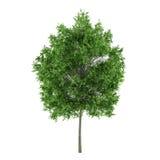 Isolerat träd. LimefruktTiliacordata Arkivfoton