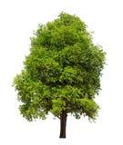 Isolerat träd med det gröna bladet på vit bakgrund arkivbild