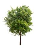 Isolerat träd med det gröna bladet på vit bakgrund fotografering för bildbyråer