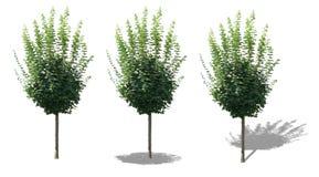 Isolerat träd med skuggor Royaltyfri Fotografi
