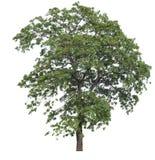 Isolerat träd på vit bakgrund fotografering för bildbyråer