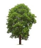 Isolerat träd på vit bakgrund arkivbilder