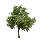 Isolerat träd på vit bakgrund arkivfoto