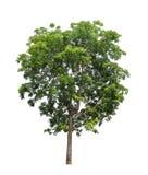 Isolerat träd på vit bakgrund royaltyfri bild