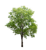Isolerat träd på vit bakgrund arkivbild