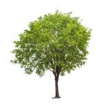 Isolerat träd på vit bakgrund arkivfoton