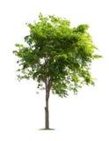 Isolerat träd på vit bakgrund royaltyfria foton