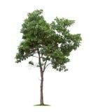Isolerat träd på vit bakgrund royaltyfri foto