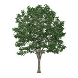 Isolerat träd. Tilia stock illustrationer