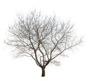 Isolerat träd Royaltyfria Foton