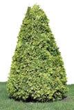 Isolerat vintergrönt barrträd Royaltyfria Bilder