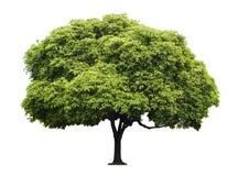Isolerat wood träd för kula Arkivfoto