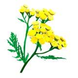 Isoltaed gele tansy Wilde bloem Stock Foto