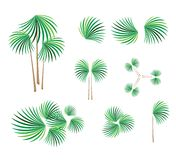 Isometric of Lady Palm Tree on White Background Royalty Free Stock Images