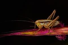 Isophya bush cricket. Young Isophya bush cricket on a wheet plant Royalty Free Stock Photography