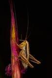 Isophya bush cricket. Young Isophya bush cricket on a wheet plant Stock Photos