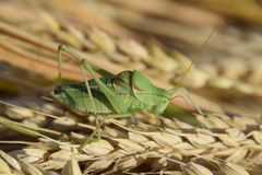 Isophya. Grasshopper is an isophy on a wheat spikelet. Stock Photography