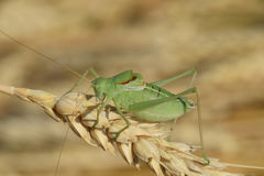 Isophya. Grasshopper is an isophy on a wheat spikelet. Stock Image