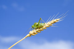 Isophya. Grasshopper is an isophy on a wheat spikelet. Isophya a Royalty Free Stock Images