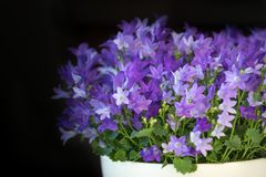 Isophylla колокольчика, колокольчик, декоративные цветки в баке, темной предпосылке Стоковое фото RF