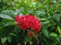 ISORA kwiat Zdjęcie Royalty Free