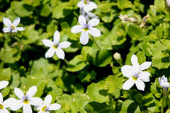 Isotoma fluviatilis, ranka för blå stjärna arkivfoton