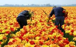Ispettori del tulipano sul lavoro Fotografia Stock
