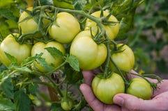 Ispezione manuale della pianta di pomodori Fotografie Stock Libere da Diritti