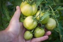 Ispezione manuale della pianta di pomodori nel giardino Fotografia Stock