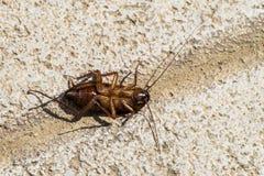 Israëlische die kakkerlak over op zijn achter americana Periplaneta wordt getipt Stock Foto
