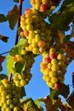 Israëlische druiven Royalty-vrije Stock Foto's