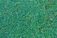 israël Gras Portulacastrum van Portulaceaesesuvium Sesuvium stock foto's