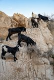 Israel Bedouins Lambs royalty free stock image