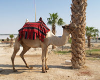 Israel. Camel the dromedary with a body cloth for driving of tou Stock Photo