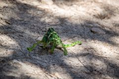 Chameleon Crossing the Road stock photo