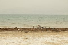 Israel, Dead Sea, June 2018: people rest in the water of the dea. D sea on the beach of Ein Gedi royalty free stock photography