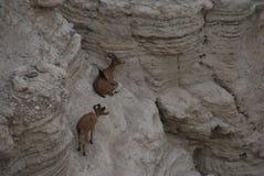 Israel Desert antelope Stock Images