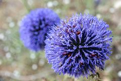 Israel double echinops royalty free stock photo