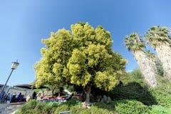 israel - Februari 17 2017 Ett härligt träd med ett frodigt ljus - grön krona nära restaurangen av St Peter Royaltyfri Foto