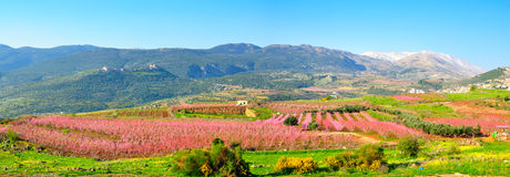 Israel Landscape. The Hermon mountain and pink leaved Nectarine trees in the Golan Heights, Israel Stock Photography